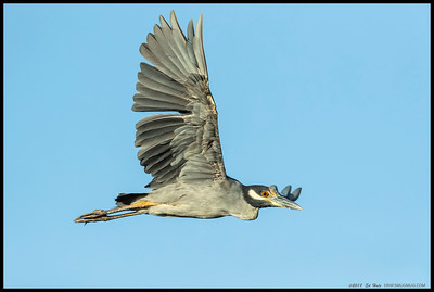 A Yellow Crowned Night Heron making a pass over me at Famosa Slough.