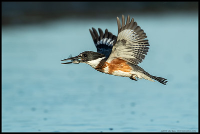 Female Belted Kingfisher with the first fish of the morning.
