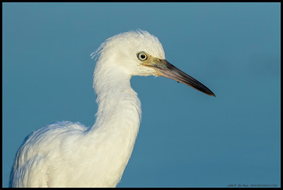 After collecting some snacks from along the bank, this juvenile Little Blue Heron came out into the water and posed for me.  You can see the sun reflecting in the eye just above the clouds that fortunately continued to dissipate throughout the late afternoon.
