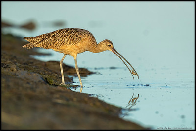 A Long Billed Curlew got very excited about cleaning its next snack.