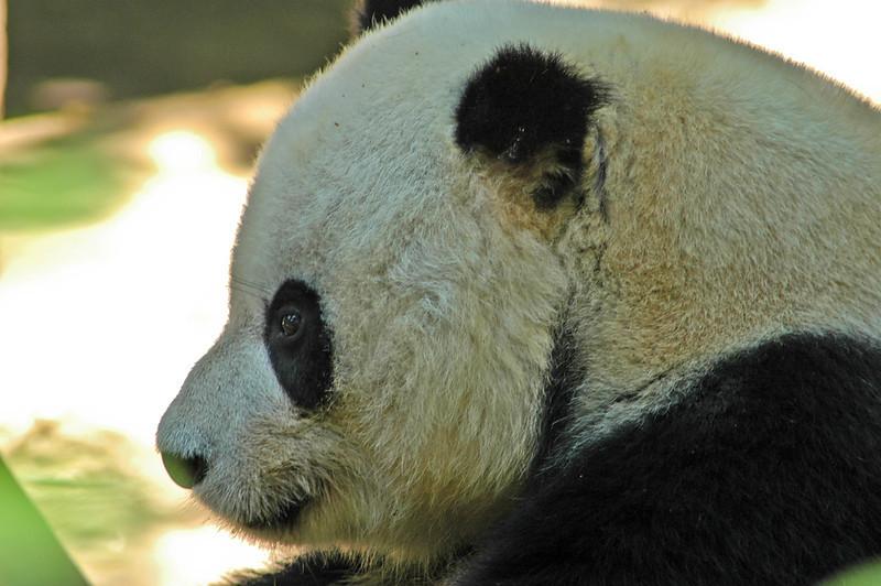 San Diego Panda Closeup