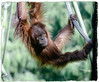 One of the baby orangutans playing at the San Diego Zoo