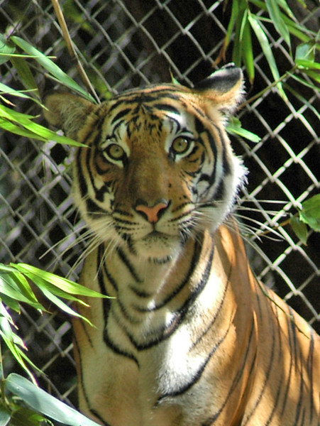 San Diego Tiger