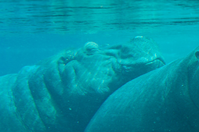 Snuggling Hippos