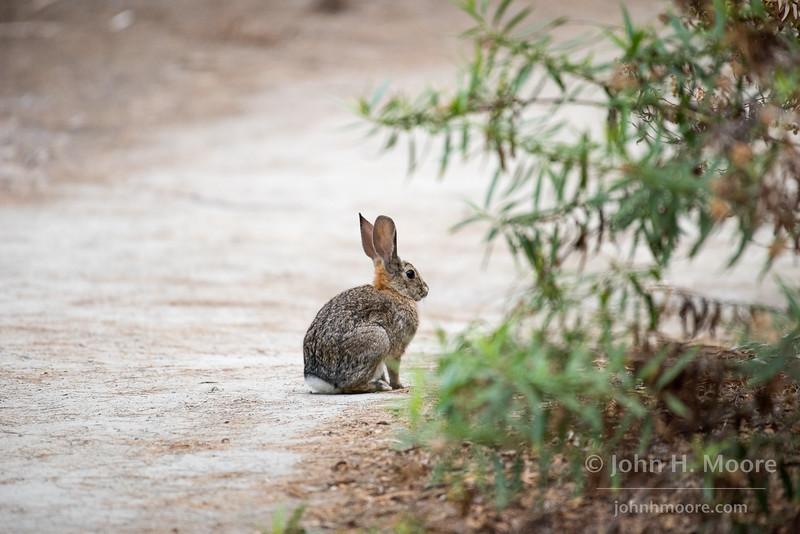 Bunny rabbit at the Bird & Butterfly Garden at the Tijuana River Valley Regional Park.  San Diego, California, USA.