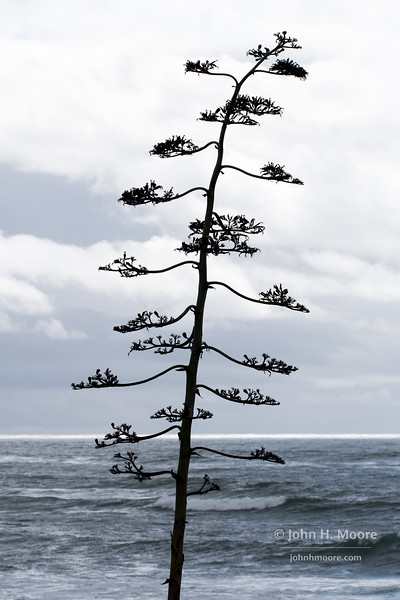 Tree at Windansea beach in La Jolla, California, USA.