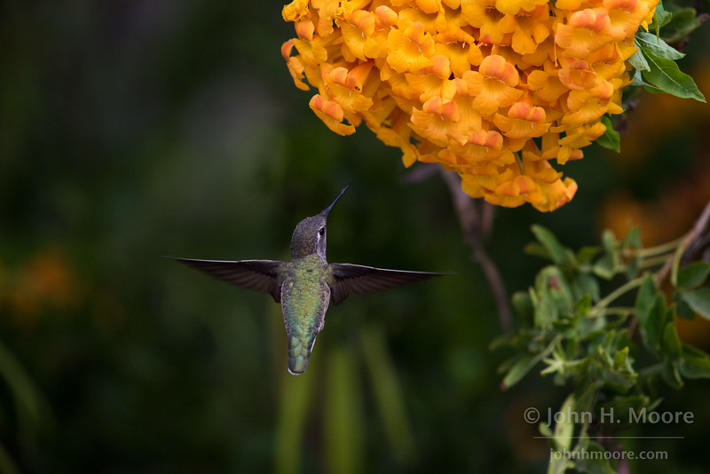 Hummingbird at the Bird & Butterfly Garden at the Tijuana River Valley Regional Park.  San Diego, California, USA.