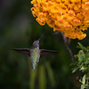Hummingbird at the Bird & Butterfly Garden at the Tijuana River Valley Regional Park.  San Diego, California, USA.