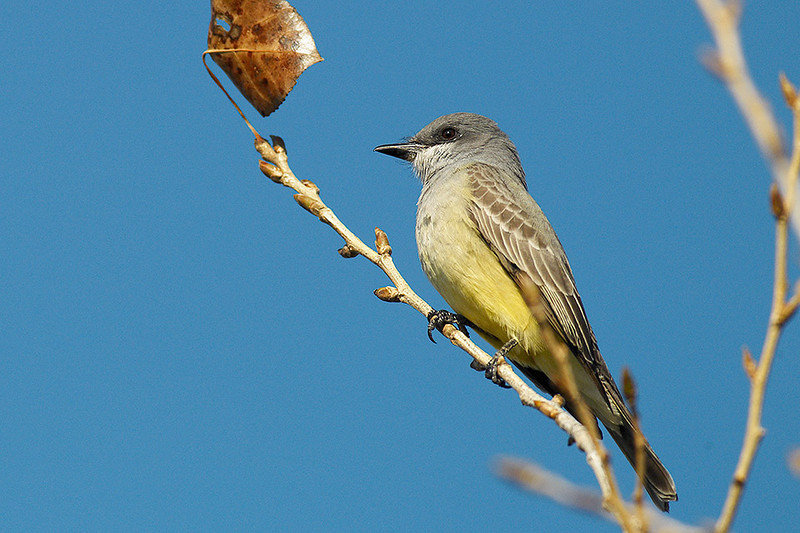 Tropical Kingbird (Cassin's Kingbird?)