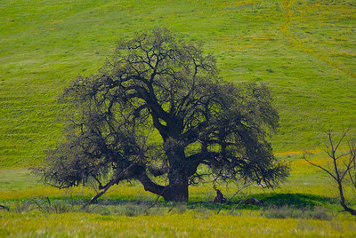 California Oak Tree