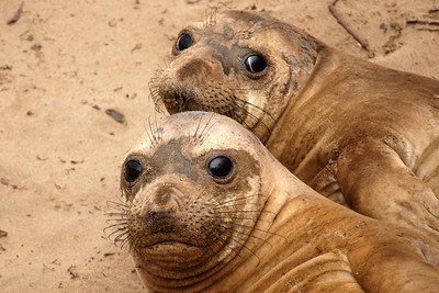 Sisters - Young Female Elephant Seals