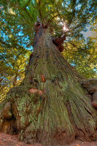 Methuselah Redwood Tree