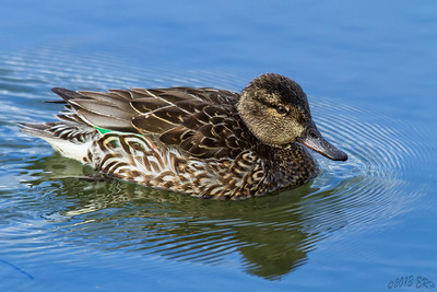Female Green Winged Teal making some headway against the incoming tide.
