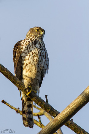 A Cooper's Hawk avoids a flock of crows by taking refuge in a bare tree.