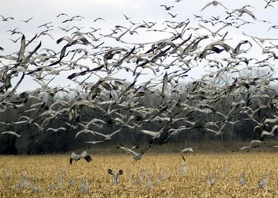 Chaos of Cranes