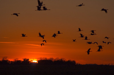 Crane Sunset in Nebraska