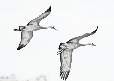 Sandhill Crane Drawing