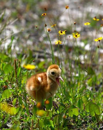 Sandhill Crane Nest - Earthday 2008