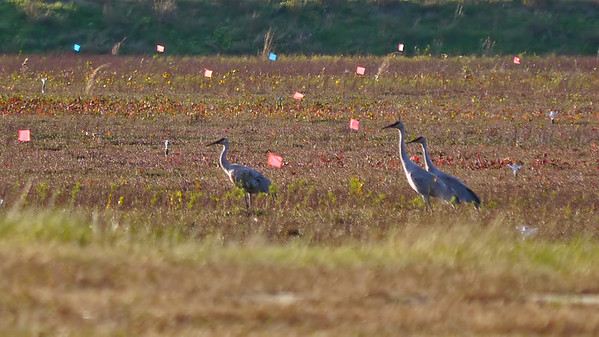 Sandhill Cranes on the cranberry bog (3 of the reported 5) as it actually looked