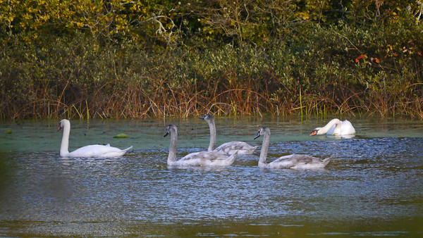 Mute Swans (2 adults, 3 cygnets) -- south end of Parker Mills Pond
