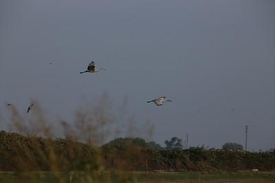 Sandhill Cranes 2012