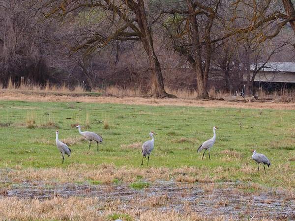 Sandhill Cranes, 3-16