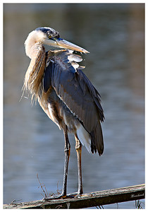 An Angry Great Blue Heron