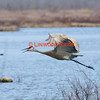 Sandhill Crane, Belgrade, Maine  April 2011