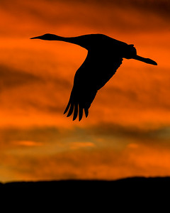 This silhouetted Sandhill Crane photograph was captured in Bosque Del Apache NWR in New Mexico (12/07).   This photograph is protected by the U.S. Copyright Laws and shall not to be downloaded or reproduced by any means without the formal written permission of Ken Conger Photography.