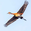 Sandhill Crane flies over the Messalonskee Marsh at Belgrade, Maine