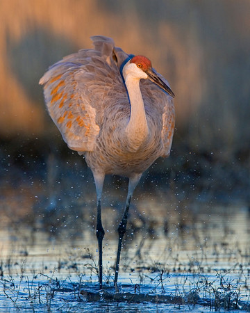This Sandhill Crane photograph was captured in Bosque Del Apache NWR in New Mexico (12/07).   This photograph is protected by the U.S. Copyright Laws and shall not to be downloaded or reproduced by any means without the formal written permission of Ken Conger Photography.