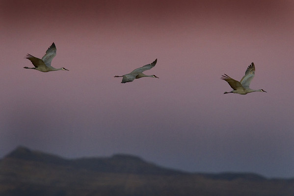 This sunset photograph of Sandhill Cranes in flight  was taken at Bosque Del Apache National Wildlife Refuge near Socorro, New Mexico (12/05).  This photograph is protected by the U.S. Copyright Laws and shall not to be downloaded or reproduced by any means without the formal written permission of Ken Conger Photography.