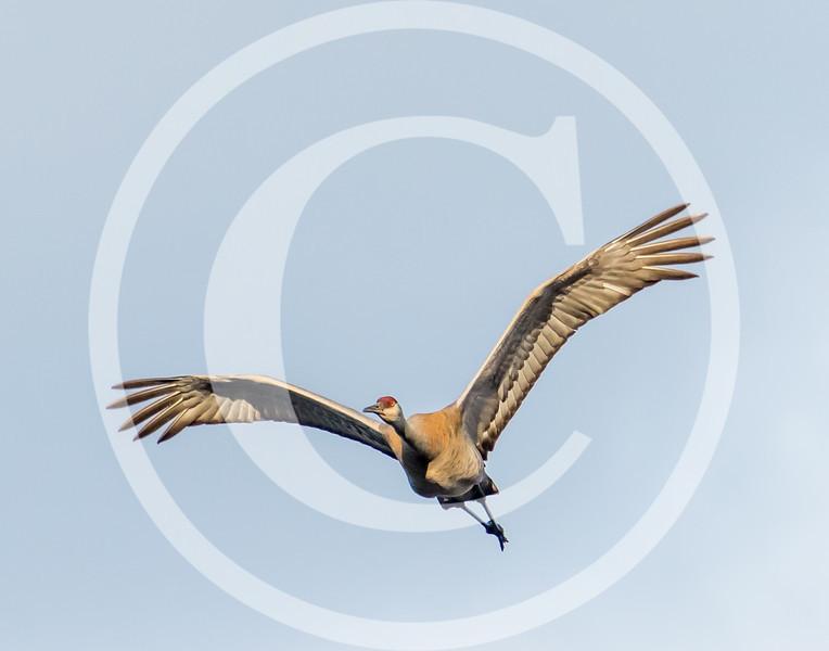 Sandhill Crane flies over the Messalonskee Marsh at Belgrade, Maine