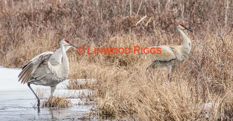 Sandhill Cranes, Belgrade Maine.