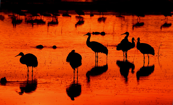 This photograph of Sandhill Cranes was captured in Bosque Del Apache National Wildlife Refuge in New Mexico (2/07).  This photograph is protected by the U.S. Copyright Laws and shall not to be downloaded or reproduced by any means without the formal written permission of Ken Conger Photography.