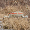 A rare, two-headed Sandhill Crane browses for food in Belgrade Maine.