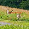 Sandhill Cranes, Belgrade, Maine