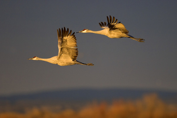 This late afternoon photograph of Sandhill Cranes in flight was taken at Bosque Del Apache National Wildlife Refuge near Socorro, New Mexico (12/05).  This photograph is protected by the U.S. Copyright Laws and shall not to be downloaded or reproduced by any means without the formal written permission of Ken Conger Photography.