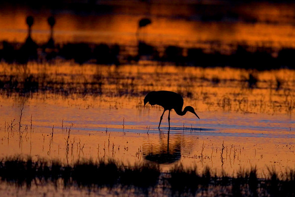 This late evening sunset photograph of a Sandhill Crane was taken at Bosque Del Apache National Wildlife Refuge near Socorro, New Mexico (12/05).  This photograph is protected by the U.S. Copyright Laws and shall not to be downloaded or reproduced by any means without the formal written permission of Ken Conger Photography.