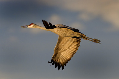 This late afternoon photograph of a Sandhill Crane in flight was taken at Bosque Del Apache National Wildlife Refuge near Socorro, New Mexico (12/05).  This photograph is protected by the U.S. Copyright Laws and shall not to be downloaded or reproduced by any means without the formal written permission of Ken Conger Photography.