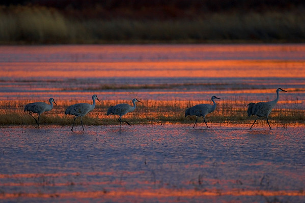 This sunset photograph of Sandhill Cranes was taken at Bosque Del Apache National Wildlife Refuge near Socorro, New Mexico (12/05).  This photograph is protected by the U.S. Copyright Laws and shall not to be downloaded or reproduced by any means without the formal written permission of Ken Conger Photography.