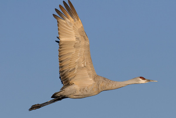 This morning photograph of a Sandhill Crane in flight was taken at Bosque Del Apache National Wildlife Refuge near Socorro, New Mexico (12/05).  This photograph is protected by the U.S. Copyright Laws and shall not to be downloaded or reproduced by any means without the formal written permission of Ken Conger Photography.