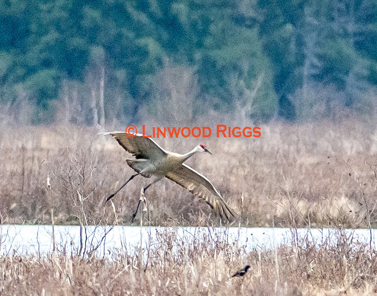 A Sandhill Crane drops in for a landing at Messalonskee Marsh in Belgrade, Maine.