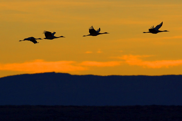 Sandhill Cranes fly through a golden sunset in Bosque Del Apache Wildlife Refuge near Socorro, New Mexico (12/05).  This photograph is protected by the U.S. Copyright Laws and shall not to be downloaded or reproduced by any means without the formal written permission of Ken Conger Photography.