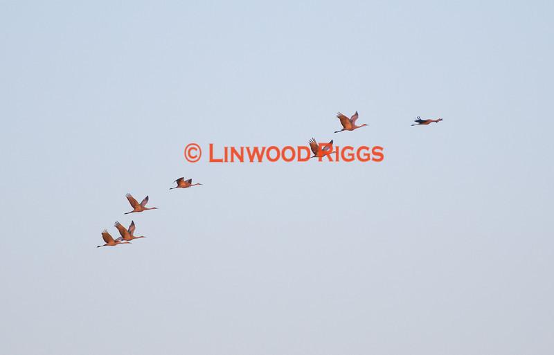 Seven Sandhill Cranes flying over Messalonskee Lake, Belgrade, Maine April 2011