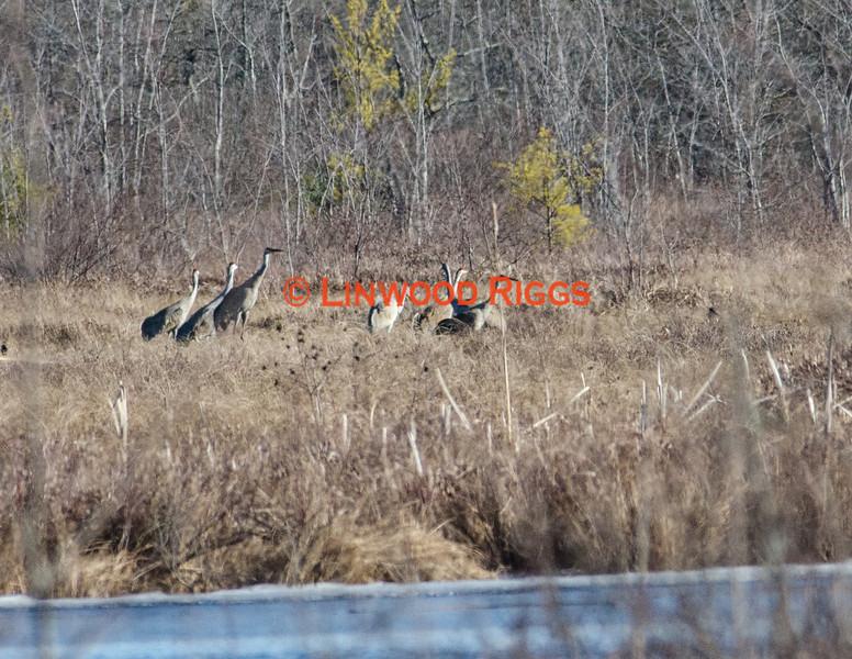 Seven Sandhill Cranes foraging in Messalonskee marsh, Belgrade Maine.