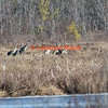 Seven Sandhill Cranes foraging in Messalonskee marsh, Belgrade Maine.