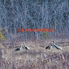 Sandhill Cranes foraging in Messalonskee marsh, Belgrade Maine.