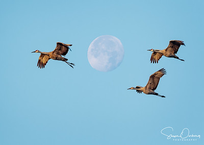 Sandhill Cranes flying past the November Super Moon as it sets at sunrise