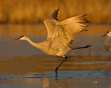 This Sandhill Crane photograph was captured in Bosque Del Apache NWR, New Mexico.  If you look closely you can see a small stream of water coming off the back leg  (11/09).   This photograph is protected by the U.S. Copyright Laws and shall not to be downloaded or reproduced by any means without the formal written permission of Ken Conger Photography.